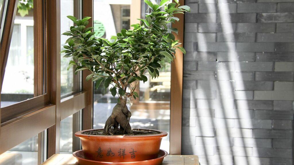6 consejos como cuidar un bonsái en casa